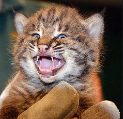 Bobcat Appeal